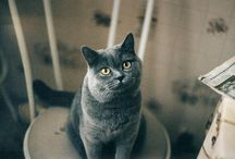 Blue (Gray) Cats and Kittens / Russian Blue, British Shorthair, Chartreux, Korat, Blue Burmese, etc! / by Meow