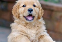 Golden retrievery