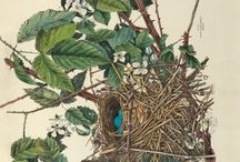 Ornithological Illustrations