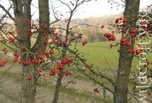 Herbs: Hawthorn