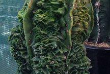 Astrofitum fucuriu