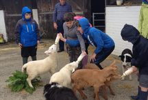 Lambing / Lambing and bottle feeding the lambs at Cwmcrwth Farm