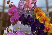 Orchidea^^