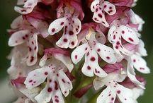 Orchidee ♥