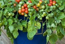 Growing fruit and veges