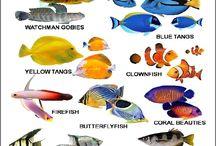 Nama-Nama Ikan Hias Air Tawar beserta nama Latinnya dan Gambarnya