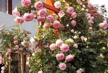 trandafir eden rose