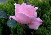 AAA FLOWER 1