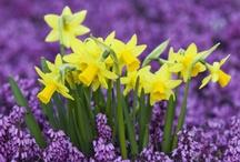 Flowers ~ Daffodils / by SE Ⓥ Grl