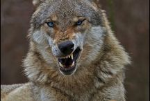 Wolves / All about wolves