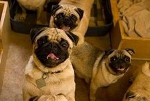 Pugs for life / I love pugs there my favroite dog