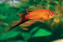 Budidaya Ikan Platy Pedang Swordtail