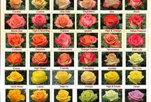 Rose colours and varieties