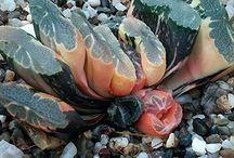 Haworthia truncata, maughanii