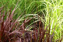 Ornamental Grasses / Types of ornamental grasses, how to use in your garden, how to grow, maintenance, etc.
