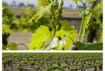 Raisin Vineyards / A look at raisin vineyards during different stages in Central California.  / by Sun-Maid