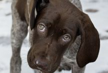 Doggys / German Shorthaired Pointers
