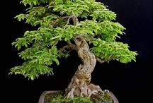 Bonsai tamarind
