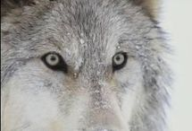 let's save the wolf_