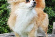 Chihuahua Puppies❤