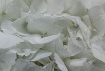 Hydrangeas / We grow our own hydrangeas in Ecuador, but also import from Holland, Colombia and New Zealand.