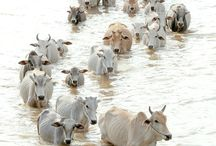 a herdsman and his cattle crossing a river