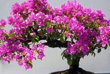 bouganvillae bonsai