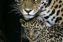 Leopard Kate