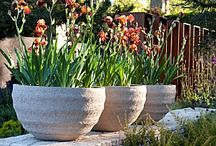 Irises in Pots