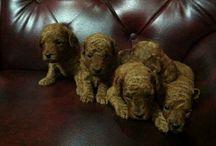Jual Red Toy Poodle di Bandung