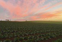 Kalettes in Australia
