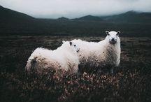 Cutpies sheeps :3