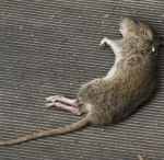 Dead Animal Removal Orlando / Our Dead Animal Removal services Orlando experts at Critter & Pest Defense will provide you with an extensive search of the location and the removal of the animal.