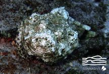 Stonefish / This place is for sharing your Stonefish photos or to enjoy Stonefish pictures posted by underwater photographers and scuba divers. Pin Stonefish images only and respect copyright. If you wish to be added to this board just follow  it or comment any images and we will send you an invite!
