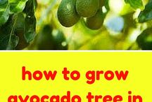 HOW TO GROW AVI TREE IN A POT