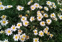 Flowers  / #daisy #flowers #summer #begonia