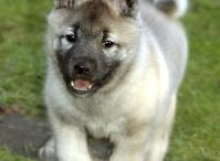 Norweigian Elkhound / by The Platypus Directive