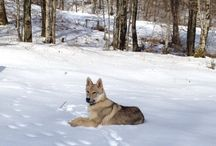 Camada C de Wolfdog Land / Fotos de los perros de la camada C entre Zoray y Volker