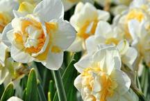 Narcissus / *