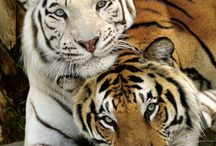 My Love For Tigers / by Adriano Aguayo