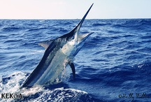 Black Marlin Blog / Marlin fishing in Australia - marlin fishing highlights from all over Oz.  #charterboats #marlinfishing #blackmarlinblog