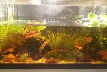 aquarium and betta's