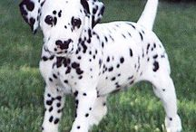 Cachorro Mais Fofo