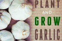 Gardening- Garlic