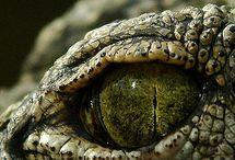 Crocodile & snake