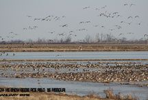 South East Missouri Duck and Goose hunting / Guided Duck and Goose hunting in SE Missouri along the Arkansas border