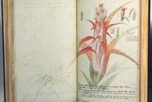 Georg Dionysius Ehret | Sketchbooks Natural History Museum