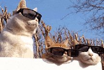 Cats Wearing Sunglasses / This is a board dedicated to cats wearing sunglasses.