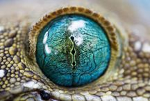 Extraordinary Eyes / Reptiles and amphibians have some of the most incredible eyes in the animal kingdom