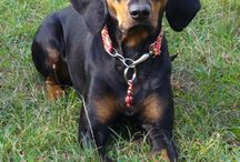 Black and tan hound
